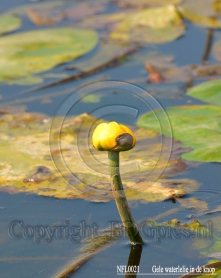 gallery/flora nfl0021        gele waterlelie in de knop